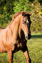 Portrait of a Thoroughbred horse
