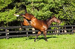Thoroughbred gelding running around field