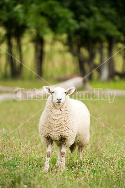 Sheep on summer pasture.
