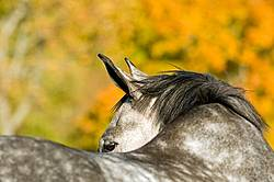 Portrait of a grey horse looking over his back