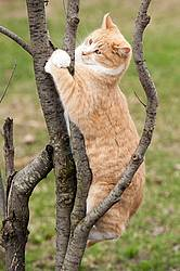 Orange cat climbing tree and hanging on