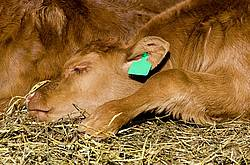 Beef calf sleeping on some hay outside.