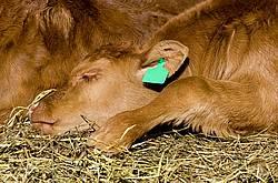 Beef calf sleeping on some hay outside.