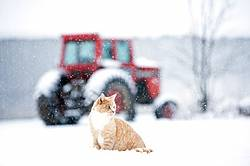 Orange barn cat sitting in the snow