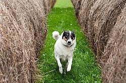 Border Collie cross farm dog