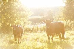 Beef cow and calf standing in pasture field