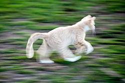 Orange kitten running and playing outside. Motion blur.