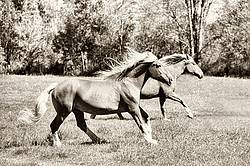 Two horses galloping in field. Converted to sepia tone