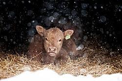 Baby Beef Calf