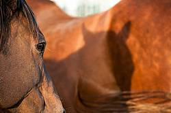 quarter horse mares