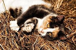 Calico barn cat playing outside