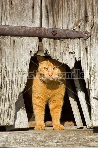 Orange barn cat peeking out the cat hole in the barn door.