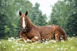 Belgian draft horse laying down in daisies