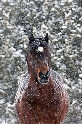 Portrait of Welsh Cob in heavy snowfall