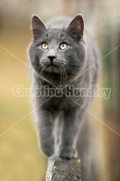 Gray barn cat walking on top rail of fence