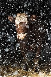 Beef cow standing in barn doorway