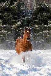 American Quarter Horse running in deep snow