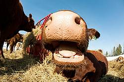 Closeup photo of cows nose