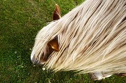 Long mane of Belgian draft horse