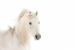 White pony against white snow background