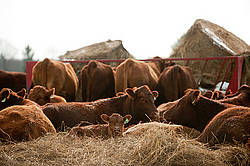 Beef cattle, cows and calves laying down outside in a bed of straw