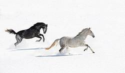 Two gray horses galloping through deep snow