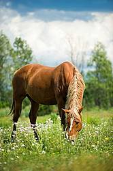 Chestnut horse grazing on summer pasture