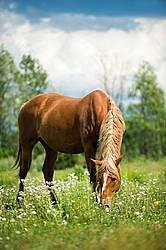 Chestnut horse grazing on summer pasture