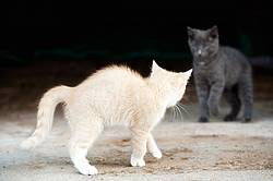 Two barn kittens playing