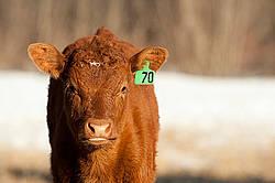 Curious beef calf