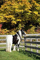 Gypsy Vanner horse