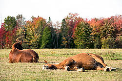 Belgian Draft Horse laying down in the field in the autumn time