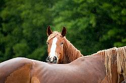One horse peeking over the back of another horse