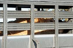 Charolais bull inside stock trailer
