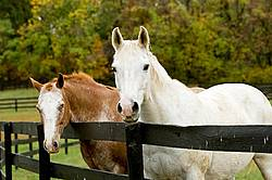 Two horses looking over paddock fence
