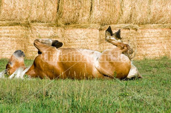 Belgian draft horse rolling in grass.