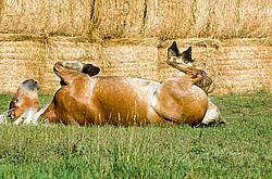 Belgian draft horse rolling in grass.