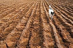 Farm dog in newly plowed field