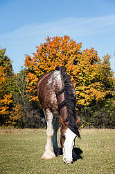 Portrait of a Clydesdale draft  horse in the autumn colors