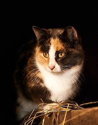 Calico barn cat sitting on barn beam