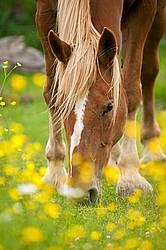 Chestnut horse grazing near a patch of buttercups