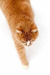 Orange cat  walking in snow