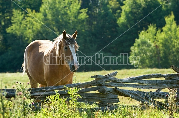 Photo of Belgian mare on summer pasture