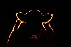 Beef Cow Silhouetted