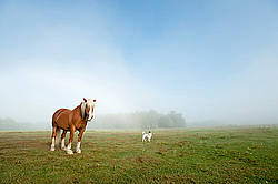 Chestnut horse standing in field with a dog in the fog