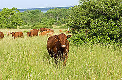 Beef cattle on summer pasture