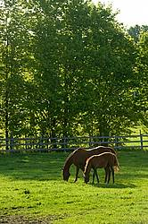 quarter horse mares and foals