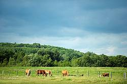 Horses and cattle on summer pasture
