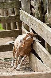 Goat in barn yard