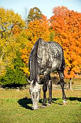 Dapple gray horse on autumn pasture